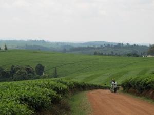 Acres of Tea